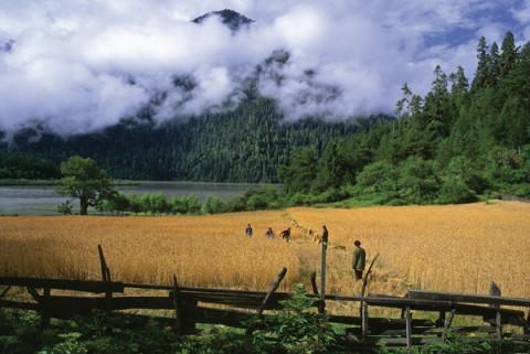 sichuan province harvesting barley